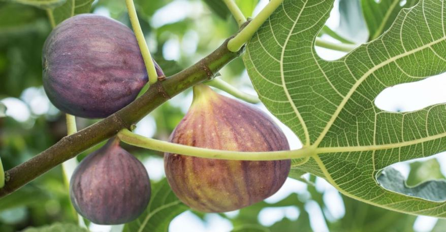 64395-fig-tree-thinkstock-valentynvolkov.1200w.tn
